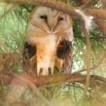 Figura-21.-Lechuza-blanca-(Tyto-alba)